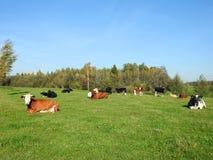 Cuadrilla de la vaca en el campo, Lituania imagen de archivo