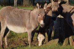 Cuadrilla del burro fotografía de archivo