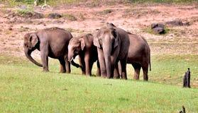 Cuadrilla del elefante en un bosque verde imagen de archivo libre de regalías