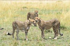 Cuadrilla del guepardo Fotografía de archivo libre de regalías