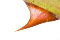 Cuadro macro de una espina de la rosa Imagen de archivo libre de regalías