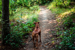 Cuando está caminando su perro usted Imagen de archivo libre de regalías