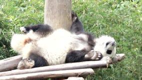 Cuando Panda Cub Feels Itchy, China almacen de metraje de vídeo