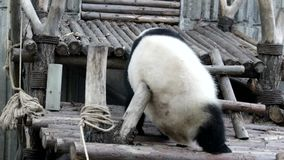 Cuando Panda Cub Feels Itchy, China almacen de video