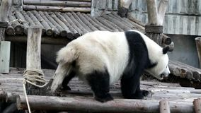 Cuando Panda Cub Feels Itchy, China metrajes