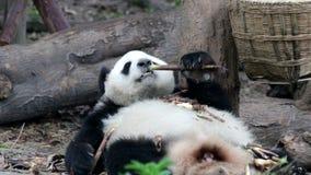 Cuando Panda Cub se está enfriando hacia fuera, China metrajes