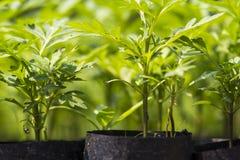 Cuarto de niños de la planta en un bolso sembrado Fotografía de archivo libre de regalías