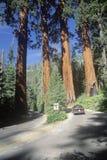 Cuatro árboles del guarda, parque nacional de secoya, CA Foto de archivo