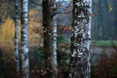 Cuatro abedules en bosque del otoño Foto de archivo
