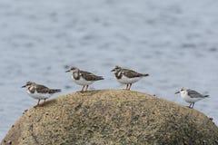 Cuatro aves costeras en una roca Imagen de archivo