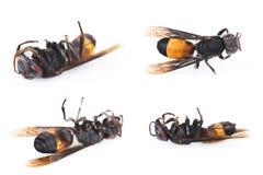 cuatro avispas muertas en un blanco Fotos de archivo