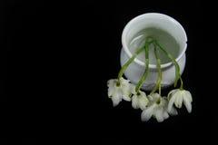 Cuatro blanco Snowdrops en el tarro blanco contra negro Fotografía de archivo