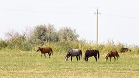 Cuatro caballos en un pasto en naturaleza Imagen de archivo libre de regalías