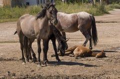 Cuatro caballos están caminando Camino de la arena en el campo con los árboles lejos travelling fotos de archivo libres de regalías