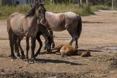 Cuatro caballos están caminando Camino de la arena en el campo con los árboles lejos travelling fotografía de archivo libre de regalías