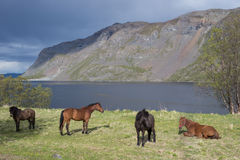 Cuatro caballos marrones por KÃ¥fjord imagen de archivo libre de regalías