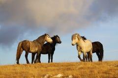 Cuatro caballos salvajes en pasto Imagen de archivo libre de regalías