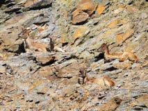 Cuatro cabras femeninas del cabra montés del Capra Foto de archivo libre de regalías