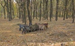 Cuatro cabras rodearon el árbol en parque del otoño y Imágenes de archivo libres de regalías