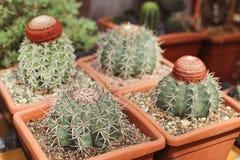 Cuatro cactus en potes Imagen de archivo libre de regalías
