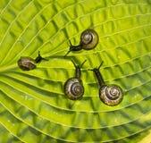 Cuatro caracoles de jardín se están arrastrando con un verde Fotos de archivo libres de regalías