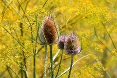 Cuatro cardo salvaje o plantas del fullonum del Dipsacus con el tronco espinoso y cabezas de flor marrones en fondo amarillo de l fotos de archivo libres de regalías