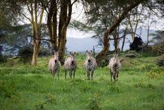 Cuatro cebras Fotografía de archivo