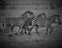 Cuatro cebras en sabana africana Foto de archivo libre de regalías