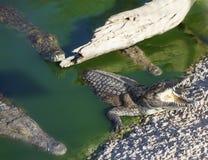Cuatro cocodrilos americanos grandes Imágenes de archivo libres de regalías