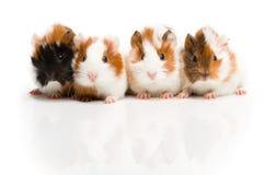 Cuatro conejillos de Indias junto en fila Imagen de archivo libre de regalías