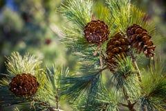 Cuatro cono en ramas spruce, una visión de abajo hacia arriba foto de archivo libre de regalías