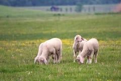 Cuatro corderos pastan en el prado Foto de archivo