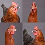 Cuatro cuadros de pollos hermosos Foto de archivo