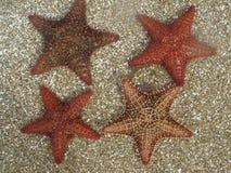 Cuatro estrellas de mar en la arena del Caribe Imágenes de archivo libres de regalías