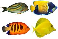 Cuatro Fishs tropical (en blanco) Fotografía de archivo