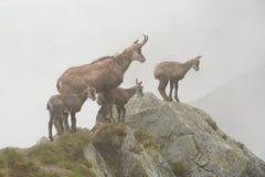 Cuatro gamuzas en niebla en las montañas de Tatra Fotografía de archivo libre de regalías