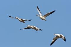 Cuatro gansos de nieve en vuelo Imágenes de archivo libres de regalías