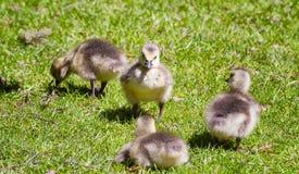 Cuatro gansos del bebé fotos de archivo