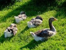 Cuatro gansos grises grandes que se sientan en la hierba bajo limpieza de la luz del sol empluman foto de archivo