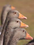 Cuatro gansos que hacen cola para arriba para el alimento imagenes de archivo