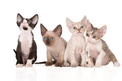 Cuatro gatitos adorables del rex de Devon que presentan en blanco Fotos de archivo libres de regalías