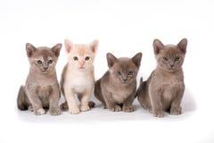 Cuatro gatitos de Birmania Imagen de archivo libre de regalías