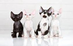 Cuatro gatitos del rex de Devon Foto de archivo
