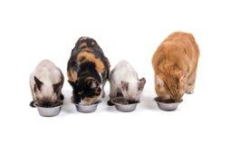 Cuatro gatos, adultos y gatitos, comiendo Fotografía de archivo libre de regalías