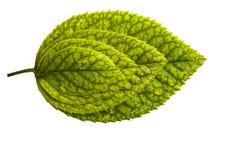 Cuatro hojas Imagen de archivo
