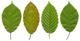 Cuatro hojas Foto de archivo