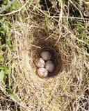 Cuatro huevos del woodlark en jerarquía en la tierra Imagen de archivo libre de regalías