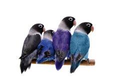 Cuatro lovebirds enmascarados en blanco Fotos de archivo libres de regalías