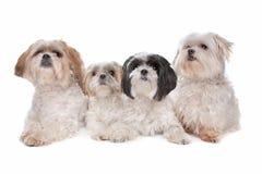 Cuatro malteses, perros del tzu del shih Imágenes de archivo libres de regalías