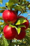 Cuatro manzanas deliciosas brillantes rojas Fotografía de archivo libre de regalías